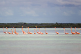 Pink American Flamingo Habitat at the Flamingo Salt Pond, Turks and Caicos Photographic Print by Mike Theiss