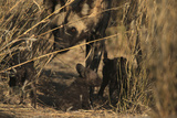 An African Wild Dog, Lycaon Pictus, Watches Carefully over Wondering Pups Photographic Print by Beverly Joubert