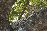 A Leopard Cub Waits Safely in a Tree for its Mother's Return from Hunting in South Africa Photographic Print by Steve Winter