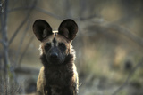 A Portrait of an African Wild Dog, Lycaon Pictus Photographic Print by Beverly Joubert
