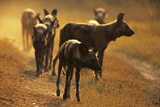 A Pack of African Wild Dog, Lycaon Pictus, Walk Along the Road at Sunset Photographic Print by Beverly Joubert