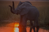 Two African Elephant, Loxodonta Africana, Drinking from a Spillway at Sunset Photographic Print by Beverly Joubert