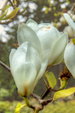 White Tulip Tree II Posters by George Johnson