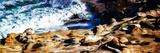 La Jolla Sea Lions II Plakaty autor Alan Hausenflock