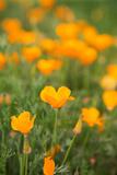 California Poppies Art by Karyn Millet