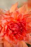 Coral Dahlia Posters by Karyn Millet