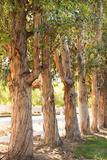 Eucalyptus Trees Prints by Karyn Millet