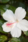 White Hibiscus Posters by Karyn Millet