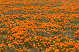 California Poppies II Prints by Lee Peterson