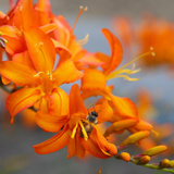 Orange Lilies II Print by Ike Leahy