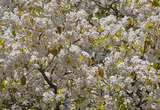 Tree Blossoms I Posters by Lee Peterson