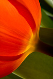 Tulip Detail II Prints by Lee Peterson