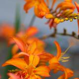 Orange Lilies I Prints by Ike Leahy