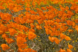 California Poppies I Posters by Lee Peterson