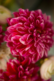 Pink & White Dahlias II Prints by Karyn Millet