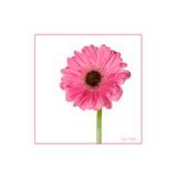 Pink Gerbera Daisy Poster by Romona Murdock
