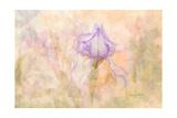 Iris in My Garden Prints by Romona Murdock