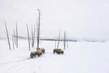 Winter Buffalo Posters by Romona Murdock
