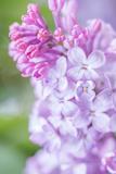 Spring Lilacs II Posters by Romona Murdock