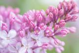 Spring Lilacs I Art by Romona Murdock