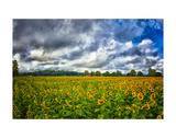 Sunflower Field Poster af Robert Lott