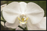 White Orchid Photo by Lillis Werder