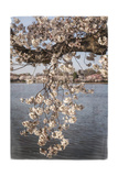 Cherry Blossoms 4 Poster by Lillis Werder