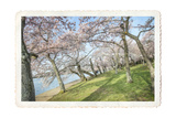 Cherry Blossoms 3 Poster by Lillis Werder
