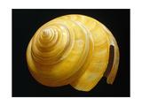 Australian Slit Shell Premium Giclee Print by David Hwang