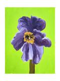 Purple Poppy Giclee Print by Soraya Chemaly
