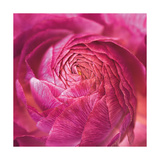 Ranunculus Abstract II Color Premium Giclee Print by Laura Marshall