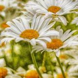 Power Flower Stampa fotografica di Viviane Fedieu Daniel