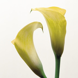 Lily Duo Giclee Print by Bill Philip
