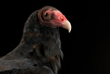 A Portrait of a Turkey Vulture (Cathartes Aura) Photographic Print by Joel Sartore