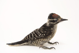 A Nuttall's Woodpecker, Picoides Nuttallii, at the Wildlife Center of Silicon Valley Photographic Print by Joel Sartore