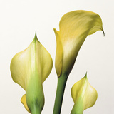 Lily Trio Giclee Print by Bill Philip