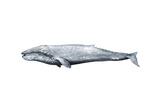 Whale Portrait IV Prints by Grace Popp