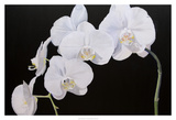 Dramatic Orchids I Prints by Sandra Iafrate