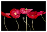 Dramatic Poppies Prints by Sandra Iafrate