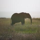 African Elephant (Loxodonta Africana), Rift Valley Province, Maasai Mara, Kenya Photographic Print by Eric Lafforgue