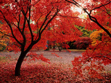 Japanese Maples in Autumn Photographic Print by Ernie Janes