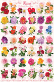 Roses Collage - Posterler