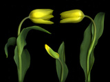 Vibrant Yellow Tulips Isolated Against a Black Background Photographic Print by Christian Slanec