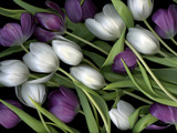 Medley of Beautiful Fresh White and Purple Tulips Photographic Print by Christian Slanec