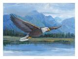 Eagle Soaring Prints by Tim O'toole