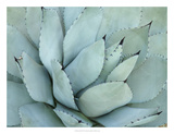 Agave Detail IV Giclee Print by Alison Jerry