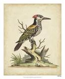 Edwards Woodpecker Reproduction procédé giclée par George Edwards