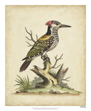 Edwards Woodpecker Impression giclée par George Edwards
