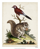 Edwards Squirrel Giclee Print by George Edwards