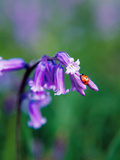 A Lady Bird on a Bluebell Plant Photographic Print by Eugenio Franchi
